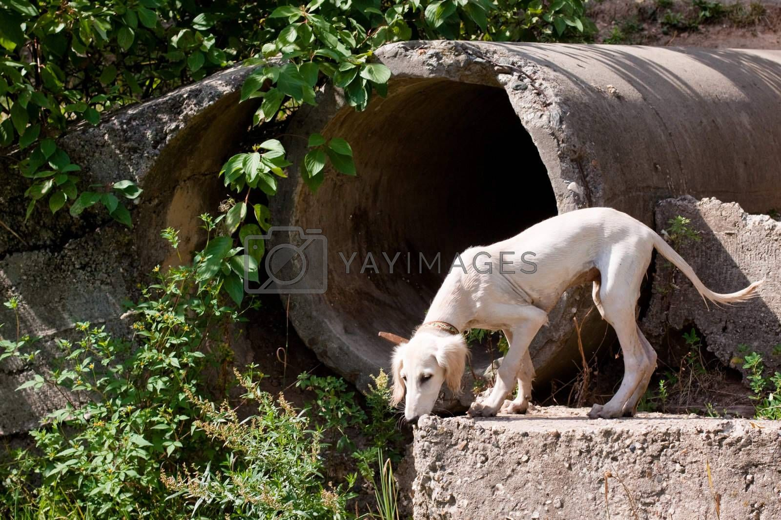 A standing white saluki pup and big concrete pipe