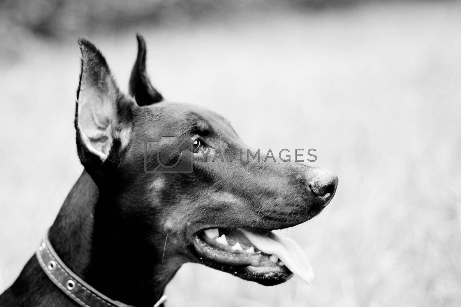 A black-and-white portrait of doberman in a summer park