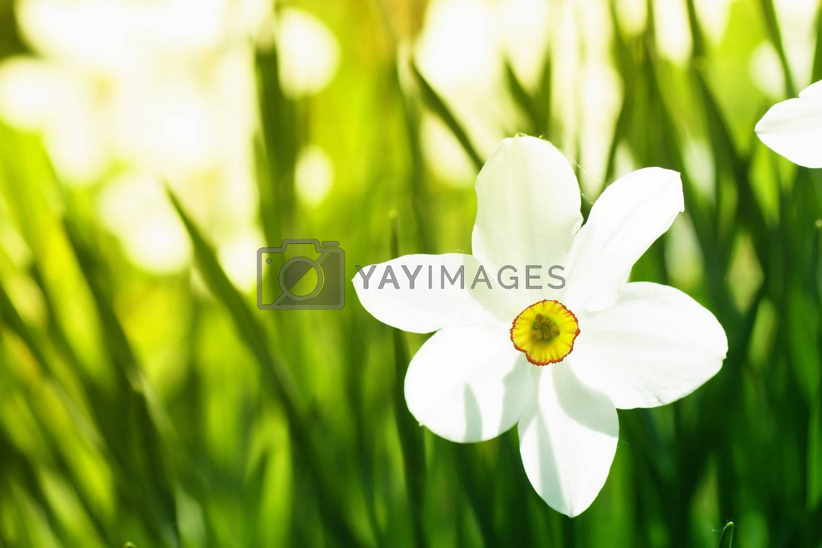 White narcissi and green grass in a field