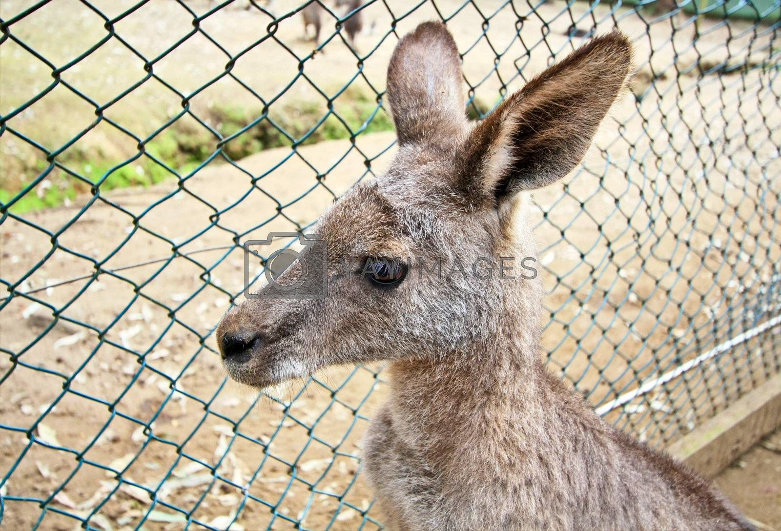 Kangaroo in cage of zoo