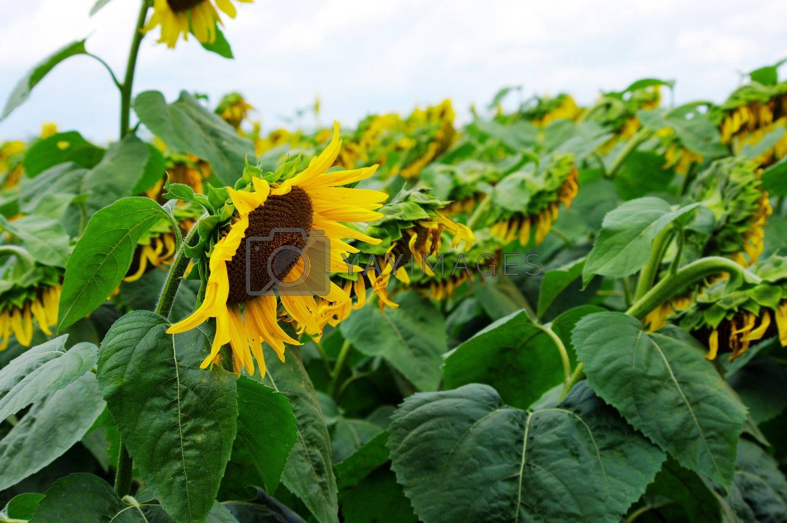 Royalty free image of portrait of a sunflower in the field  by dolnikow