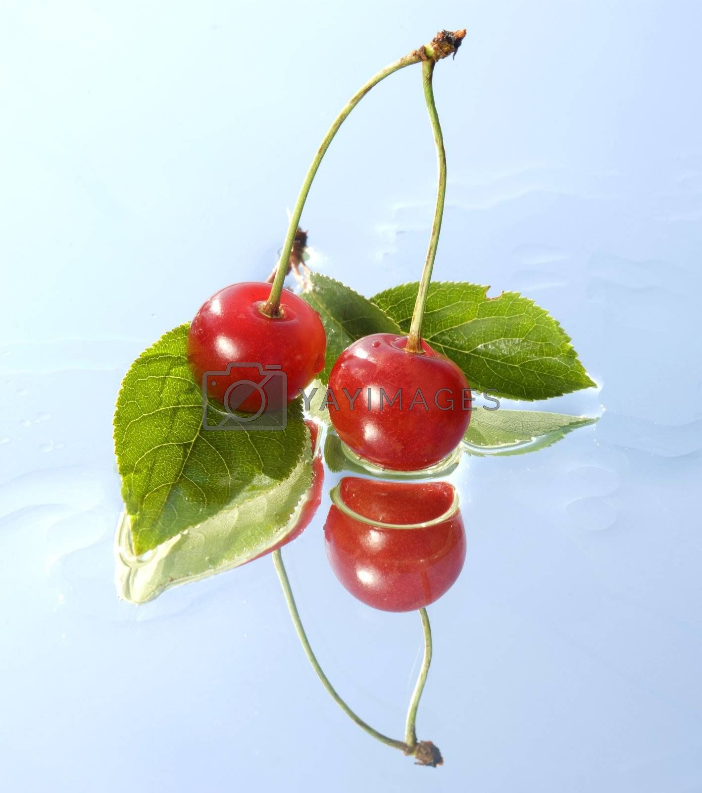 two cherry twig with reflection