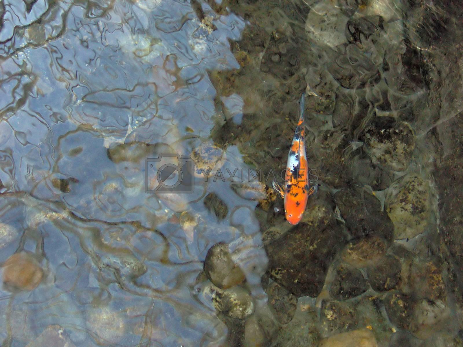 A lonely koi carp / goldfish.