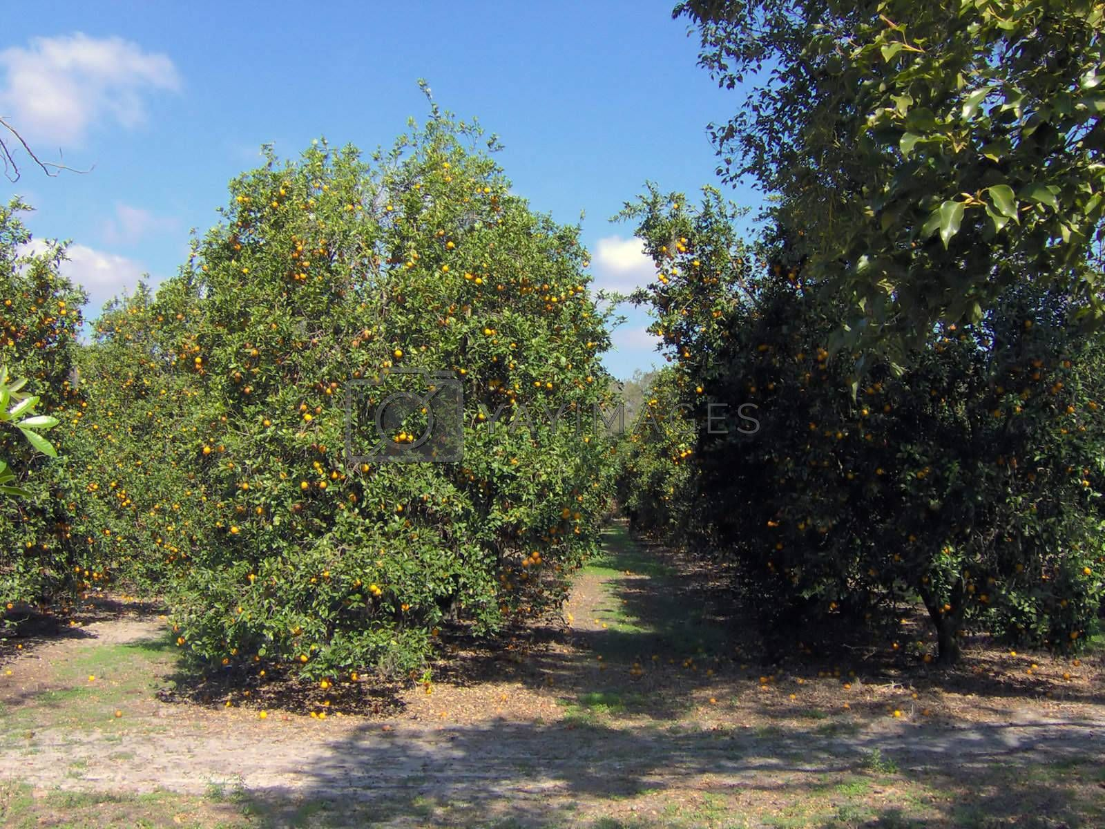 I shot this in Kissimmee / Orlando Florida, behind a flea market parking lot.  There was a huge, beautiful field of oranges.