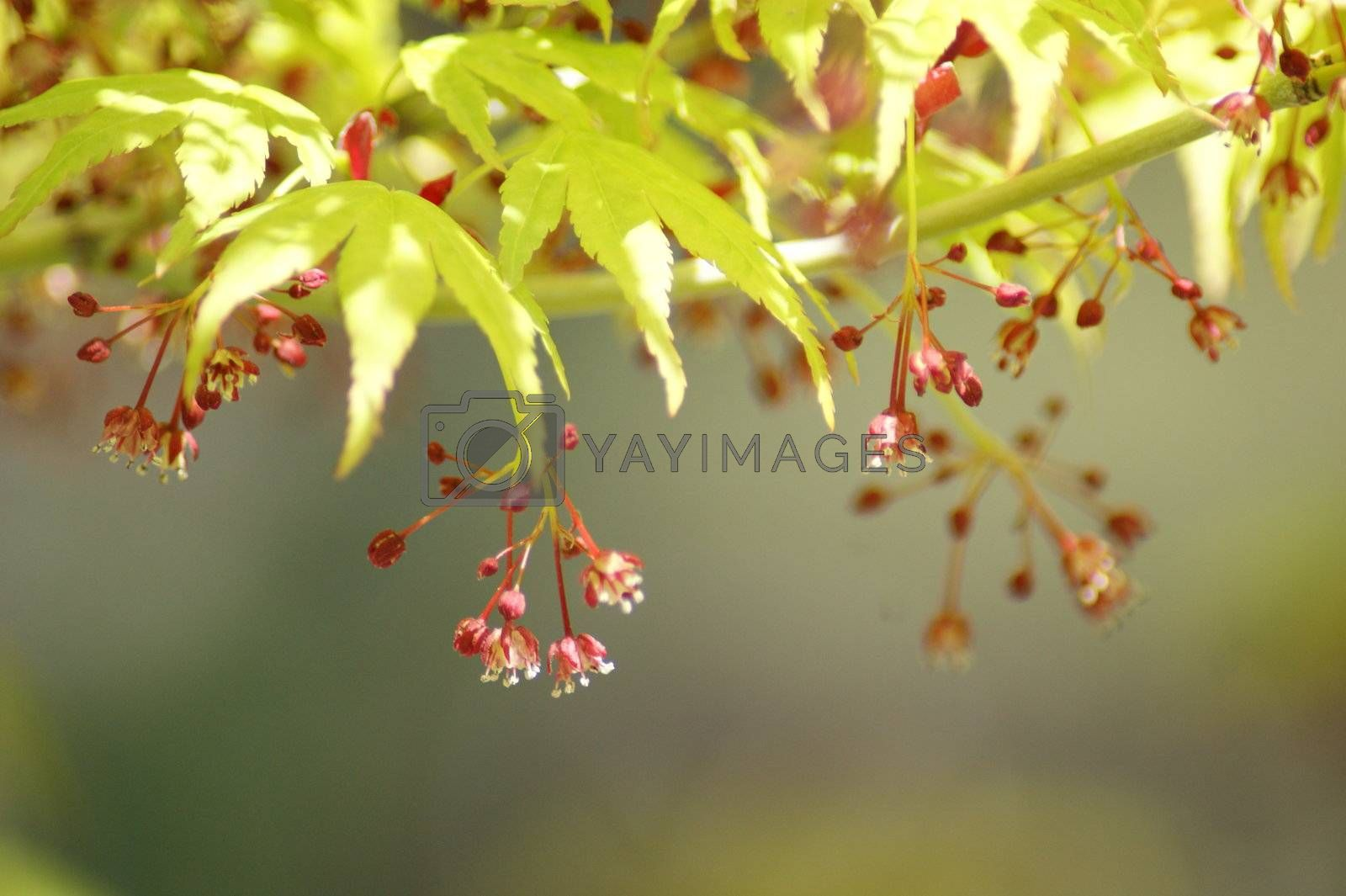 -Japanese Maple in its early bloom.