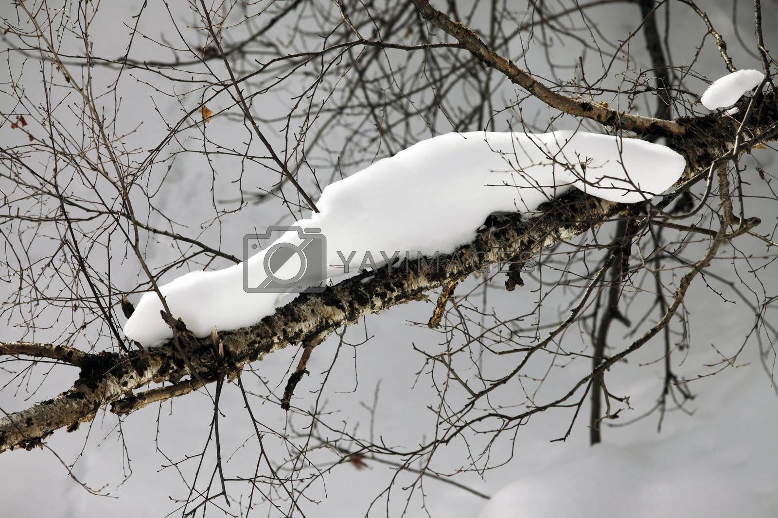 Branch of a birch in snow. winter forest in snowfall