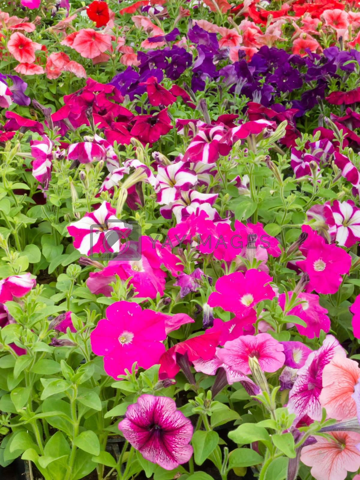Horticulture: Lots of multi-colored petunias for sale in commercial garden center.