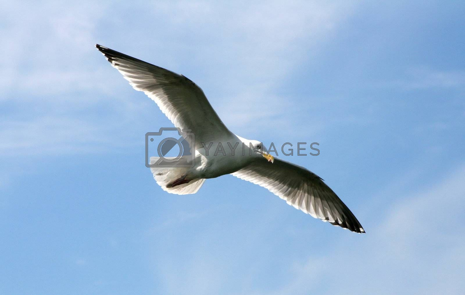 Seagull in the flight by MikLav