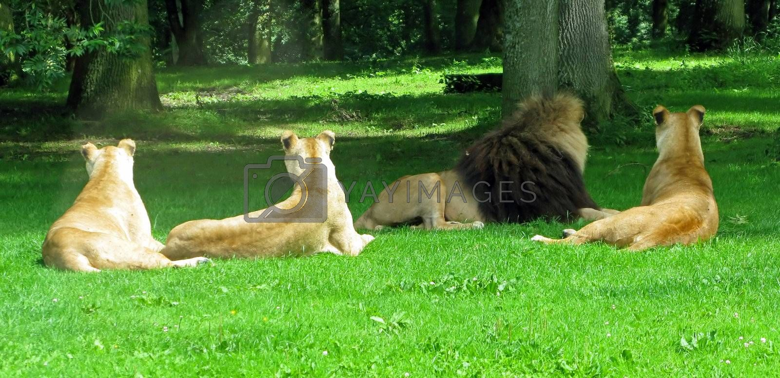Lion and Lionesses by quackersnaps