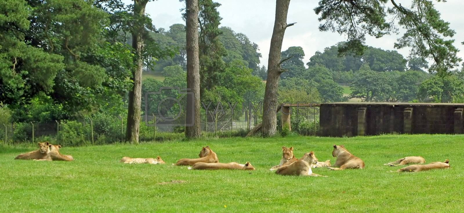 Lionesses laying in the grass in a safari park