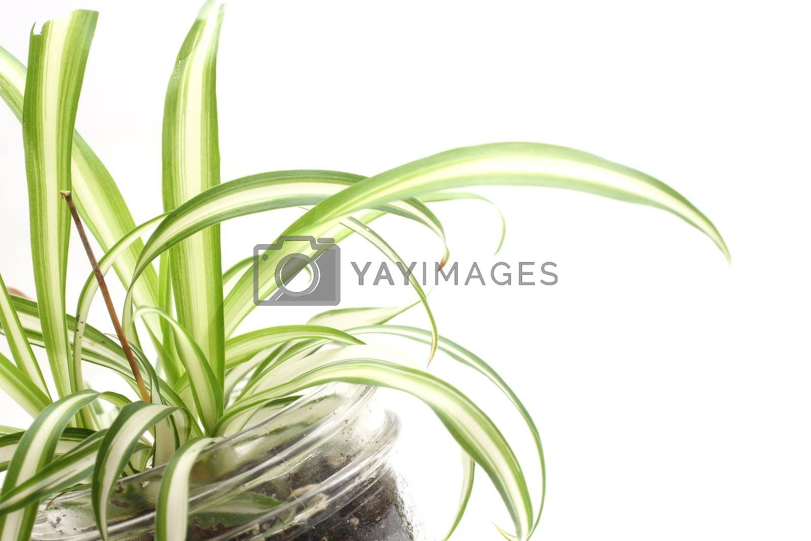 Close up shot of a small spider plant leaves