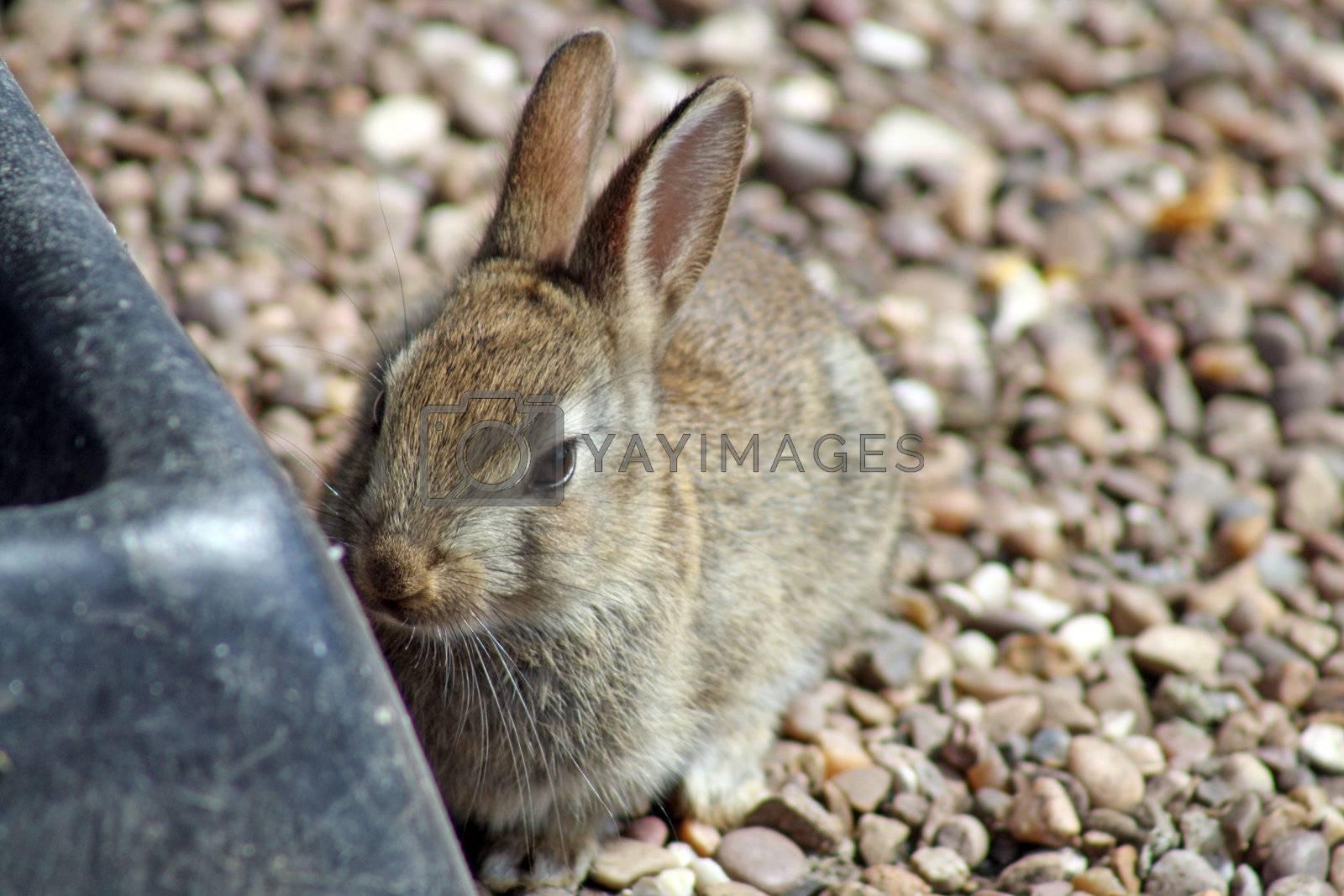 wild rabbit by lizapixels
