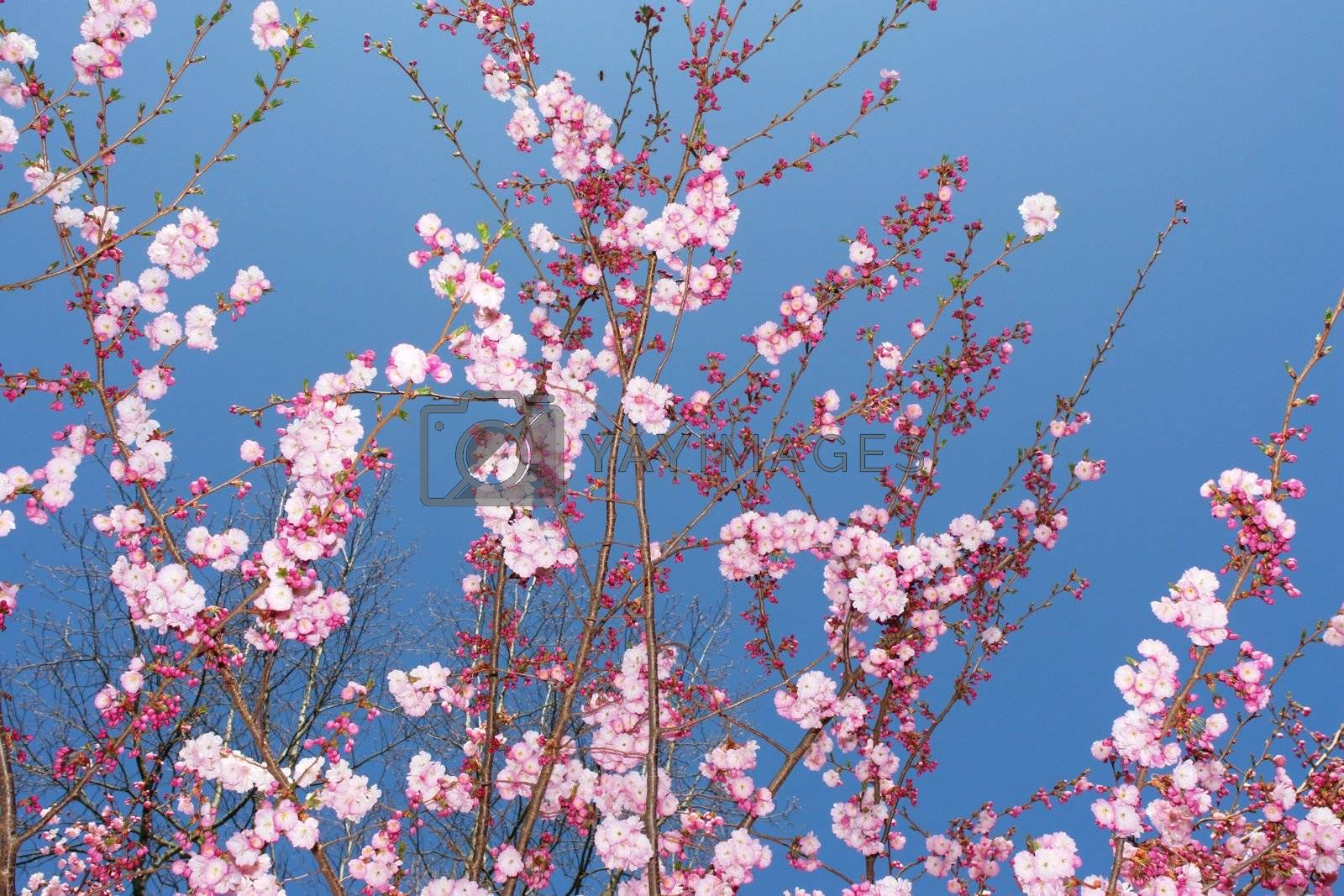 close-up of a pink flowered tree against sky