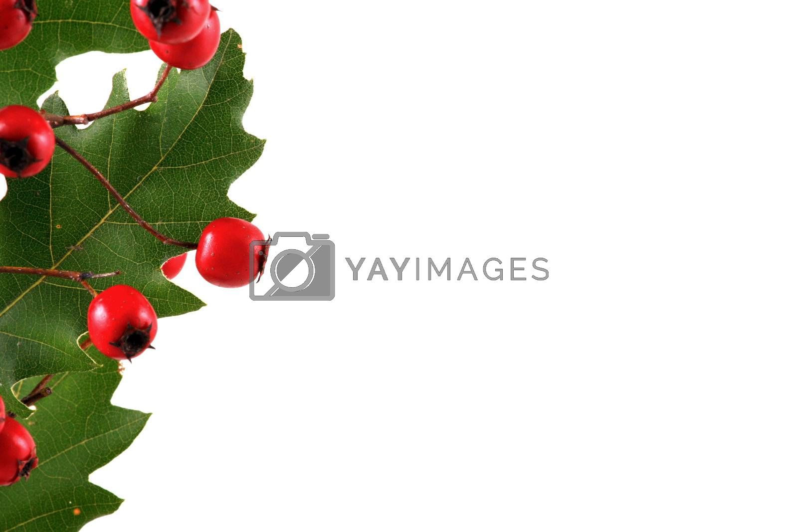 Oak branch with red berries, isolated on white
