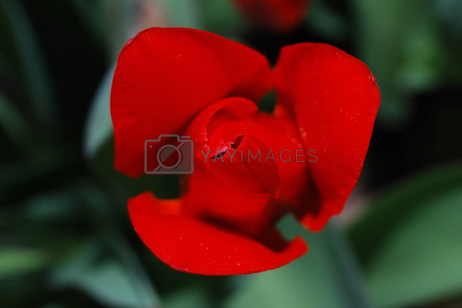 close-up of a fresh red tulip in the spring