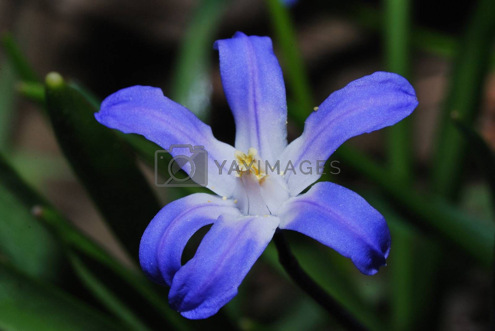 close-up of a blue bloom of a flower hyazinth in the spring