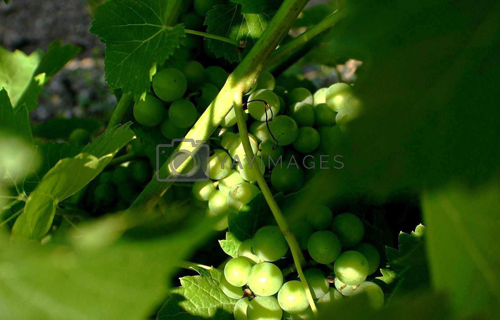 Wine making grapes hanging on a vine branch