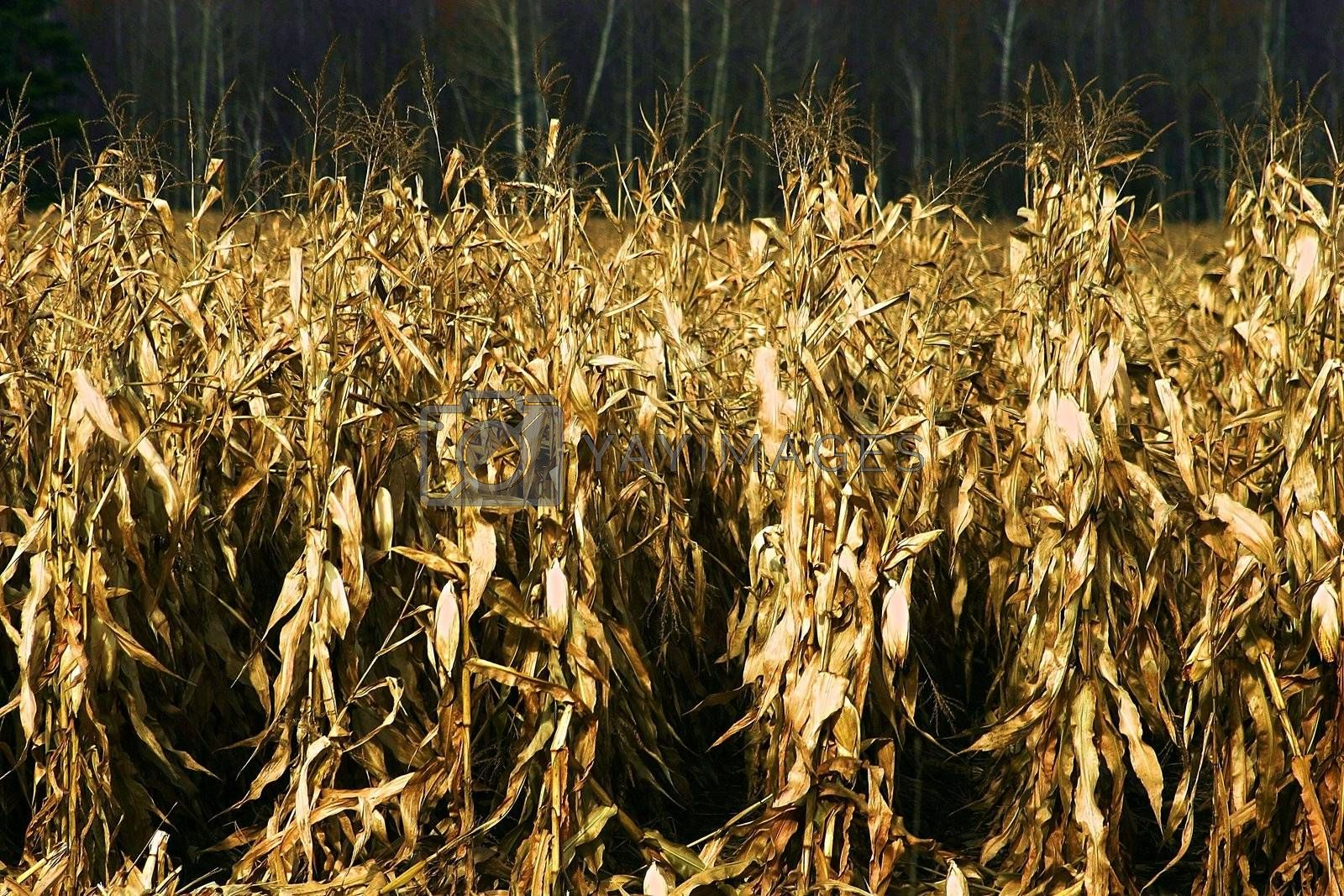 Road side dried corn field in the fall