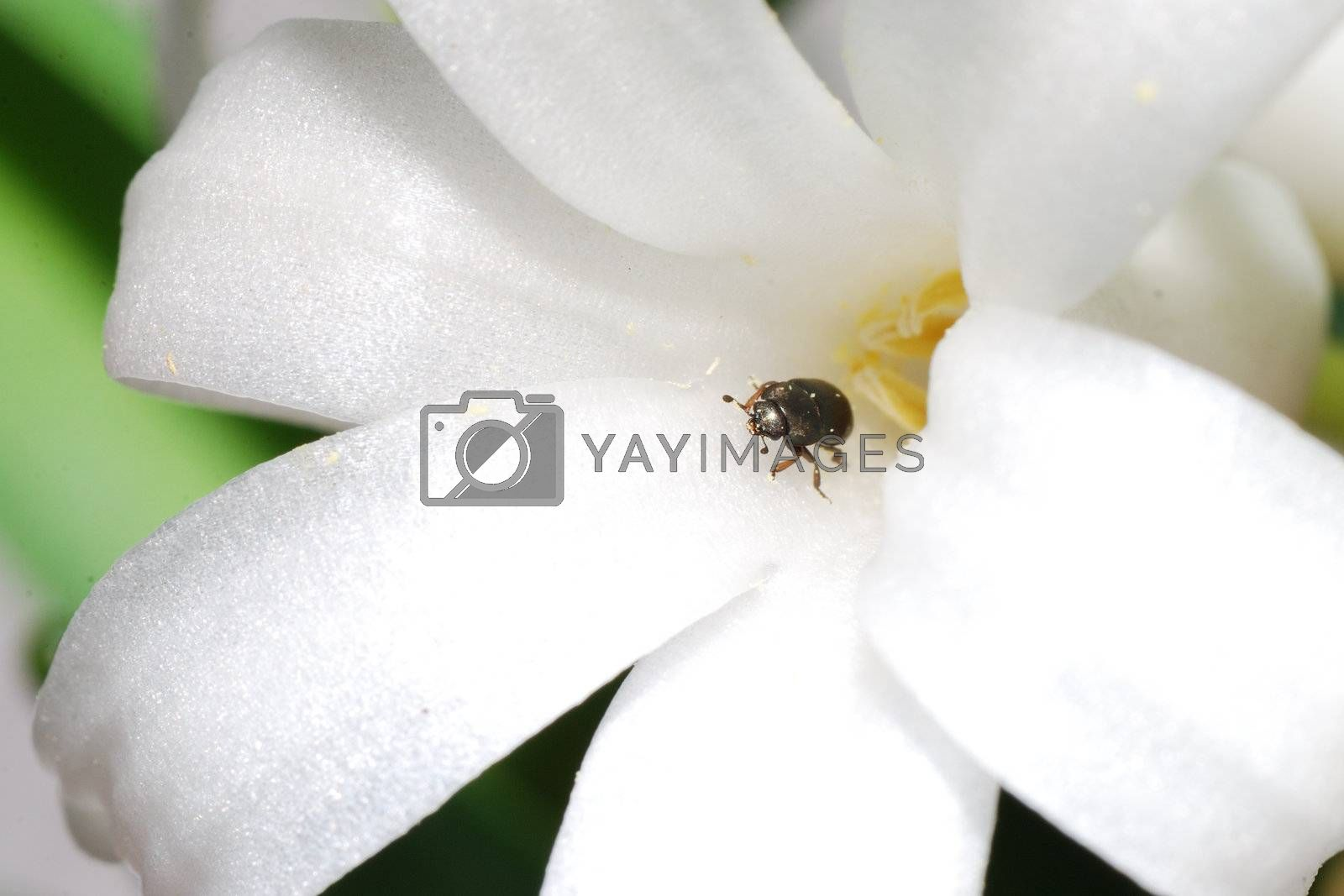 little beetle comes out from a white bloom flower