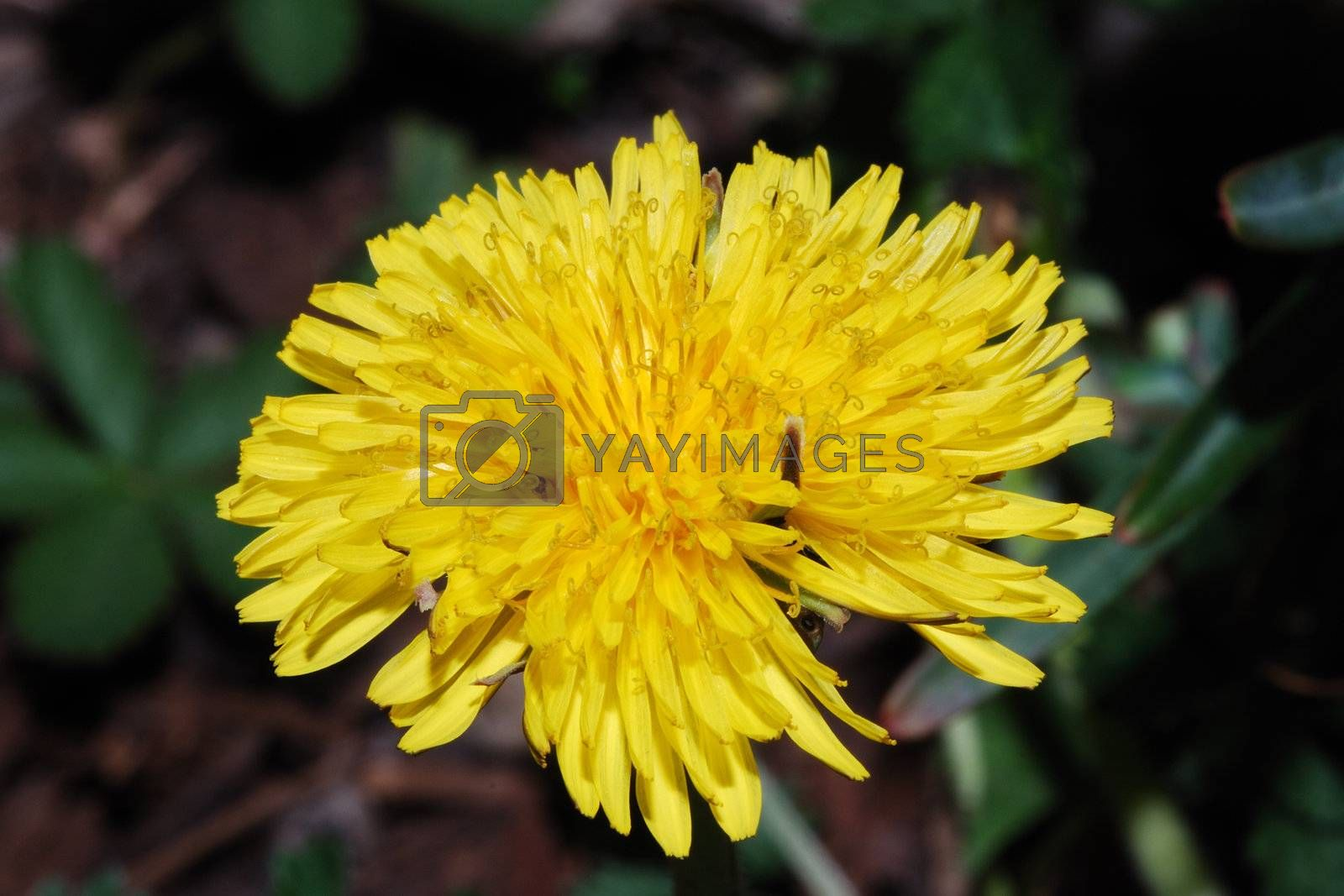 close up of a yellow dandelion bloom in spring