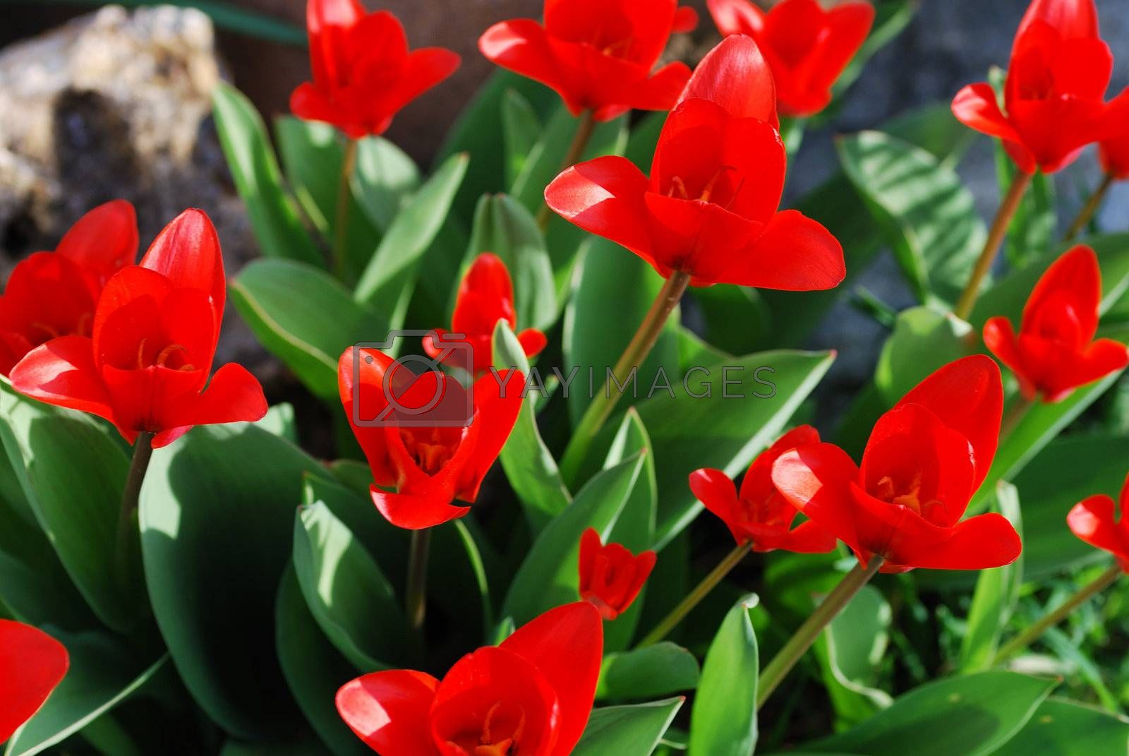 many fresh red tulip in the sunshine in spring