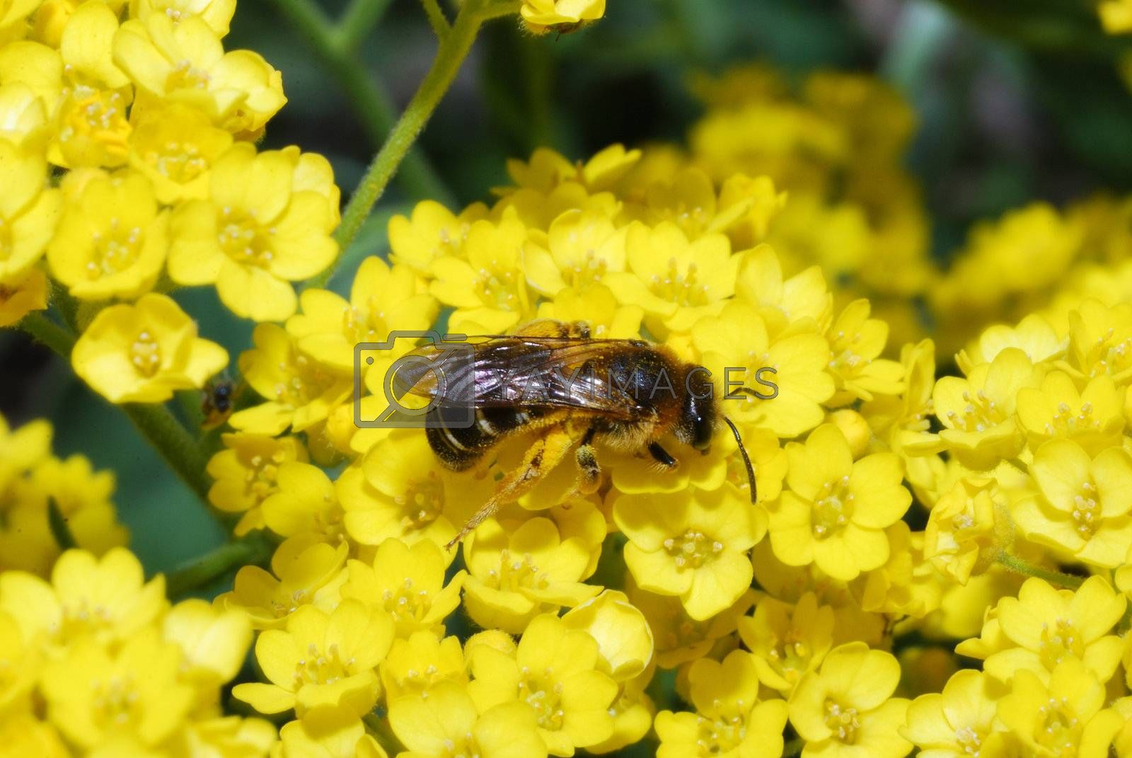 Bee sitting on a yellow flower in spring