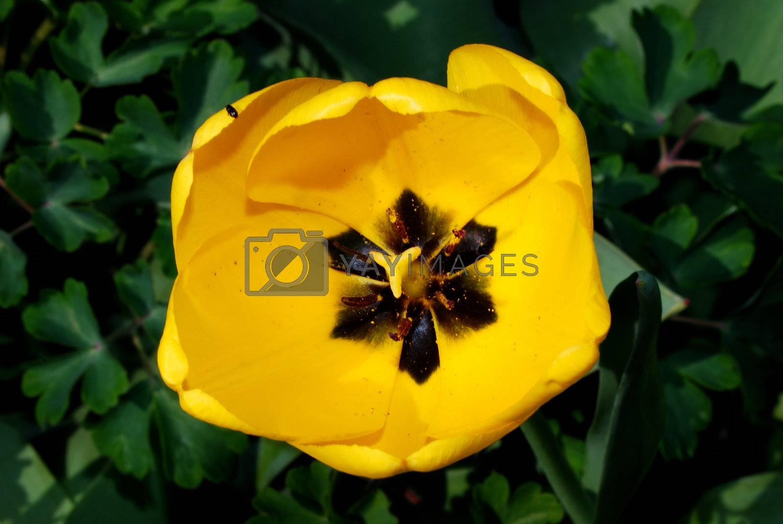 yellow tulip garden blooms in spring