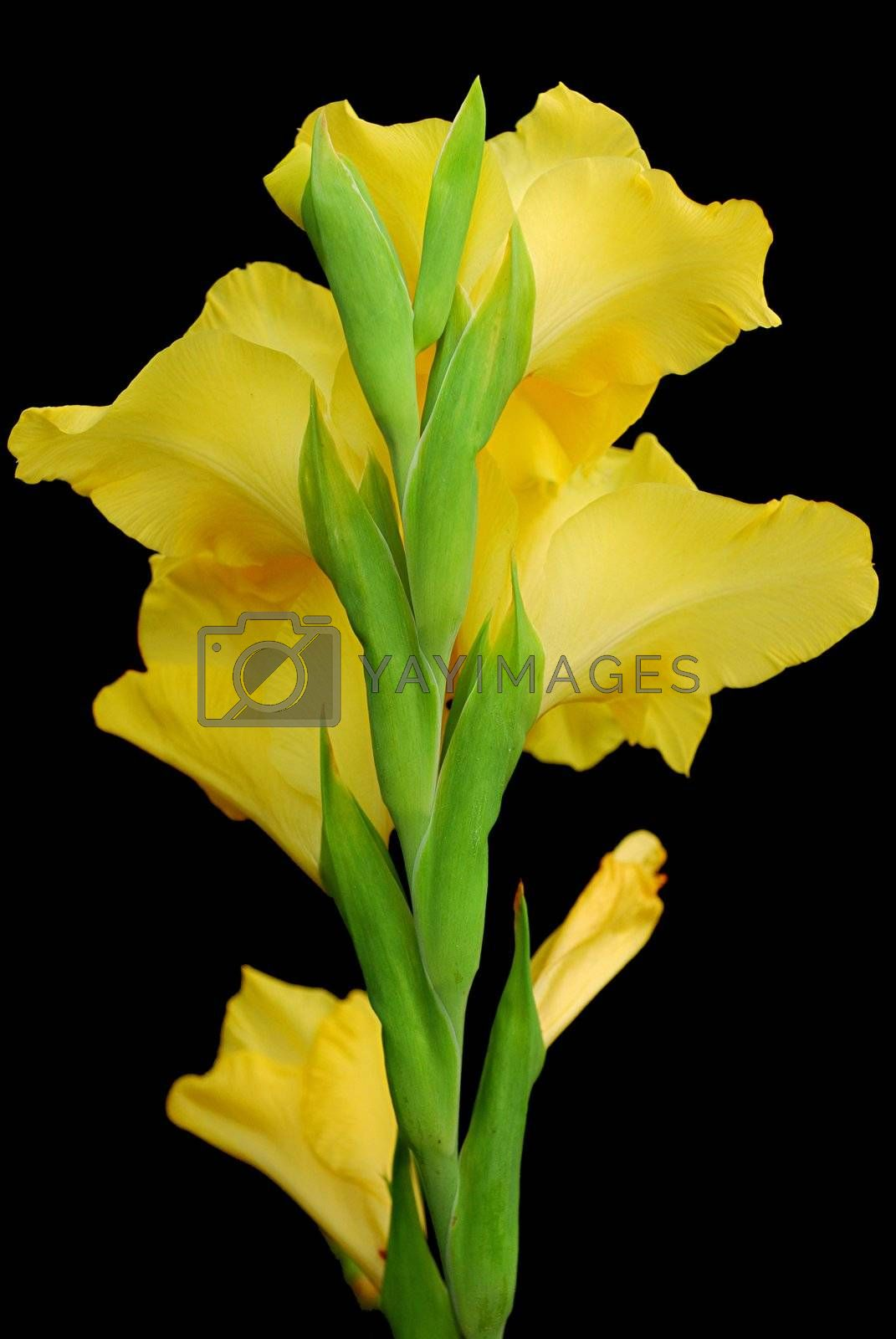 yellow gladioluses are isolated apeak standings