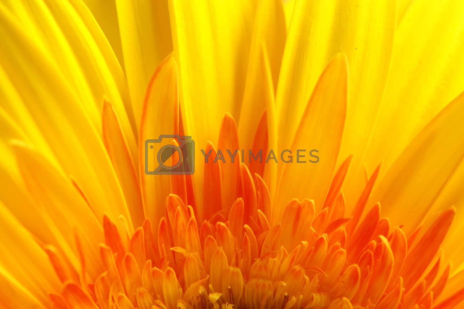 yellow gerbera close-up...........