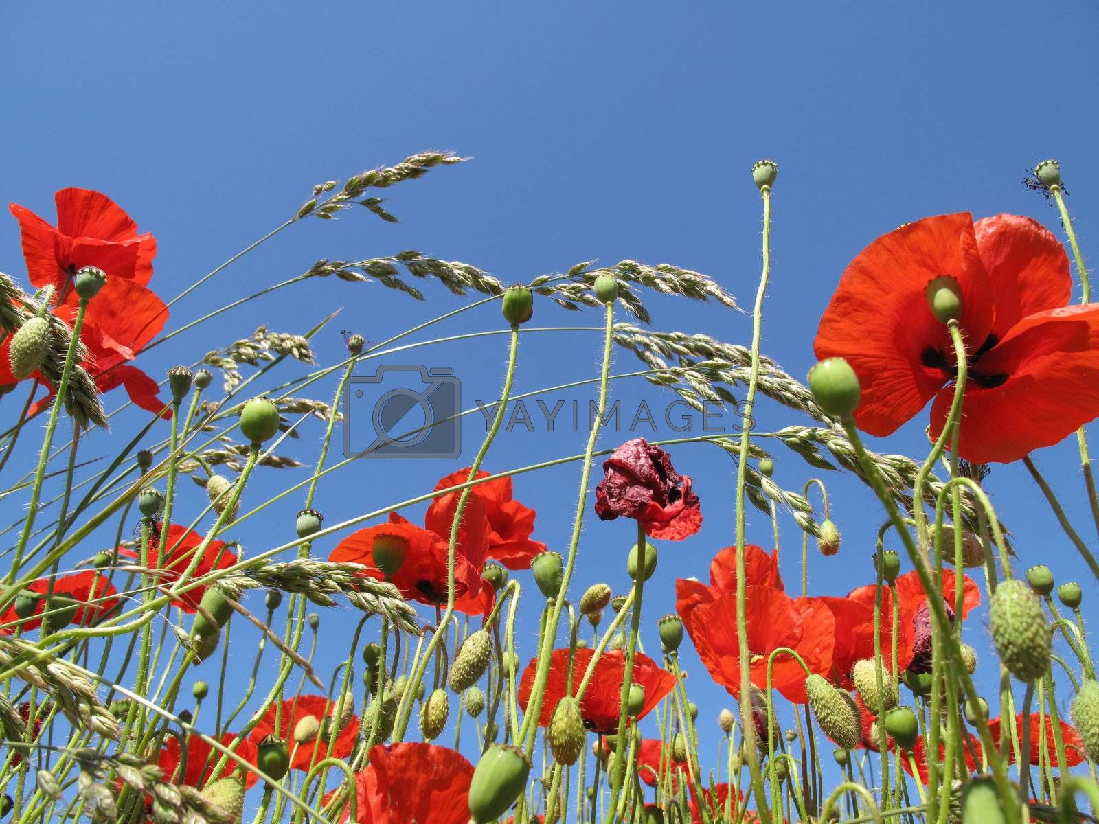 Poppies in a summer field.