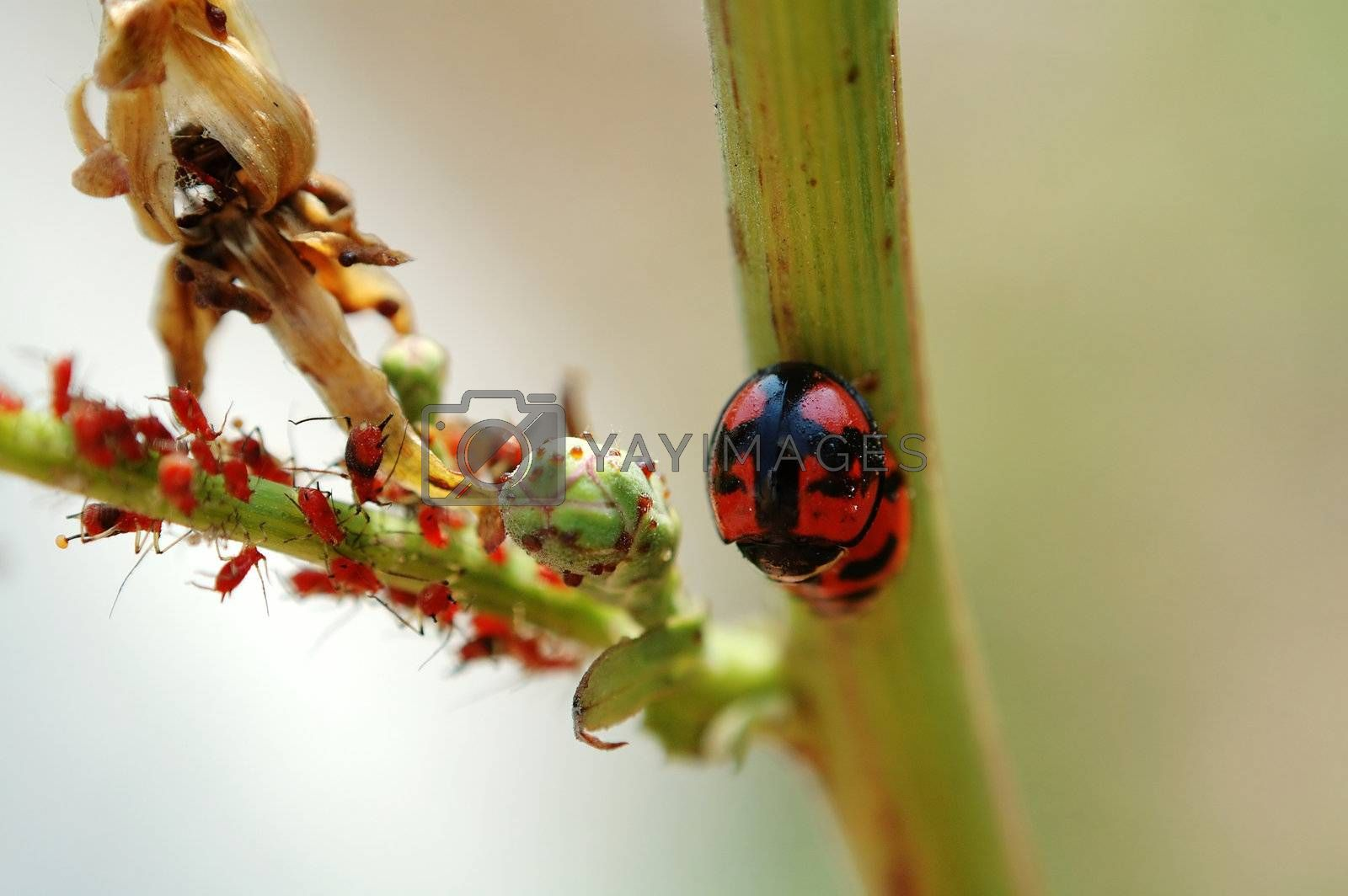 Mating ladybirds and red aphids by tito