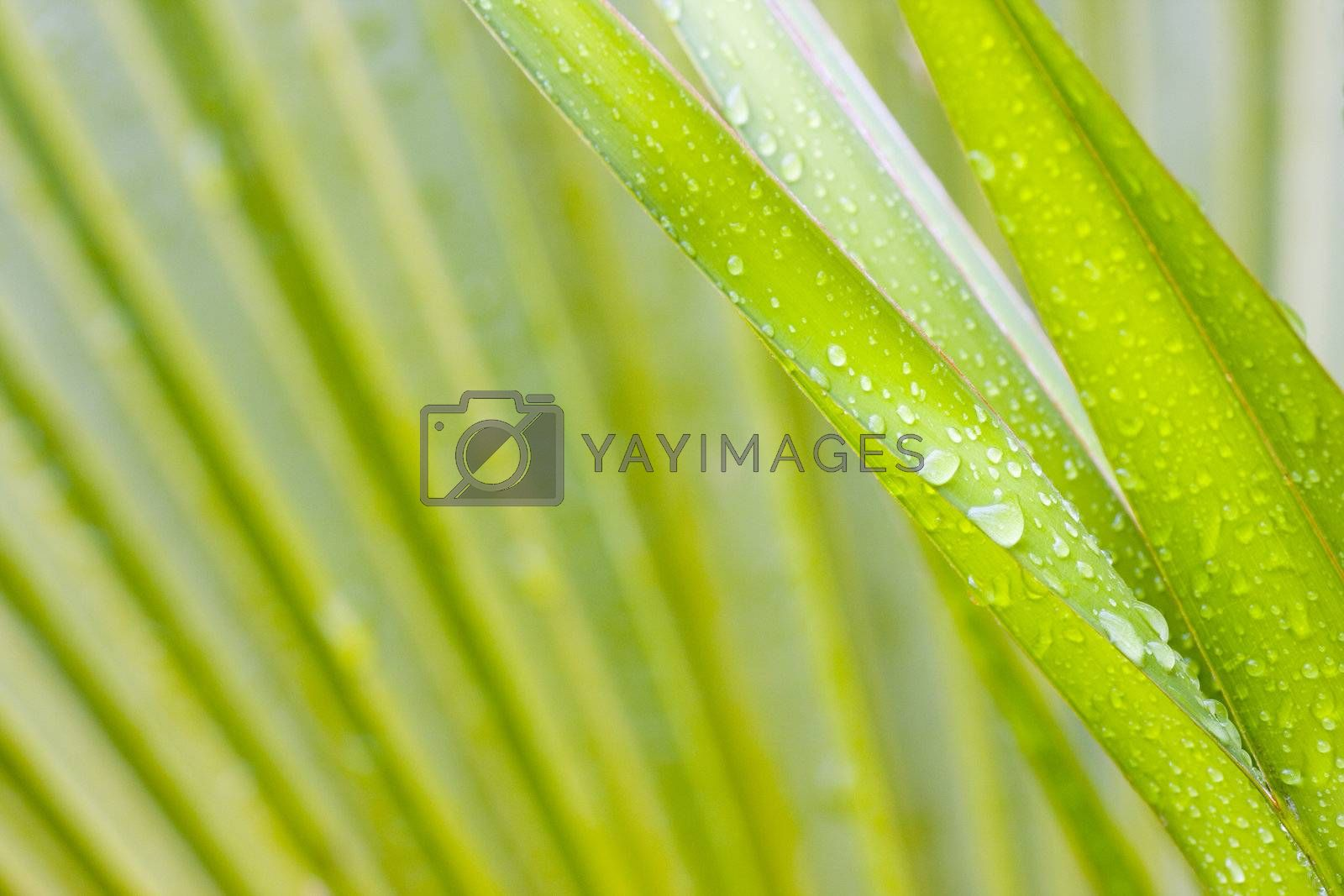 Close-up of leaves of a palmtree after the rain