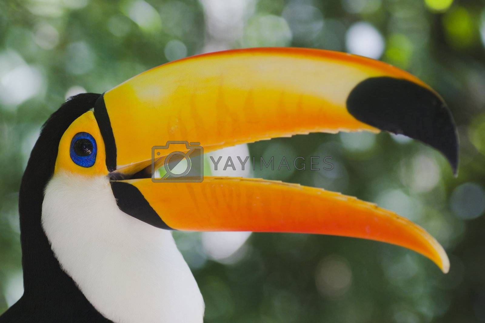 Colorful toucan (Ramphastos toco) by ArtmannWitte