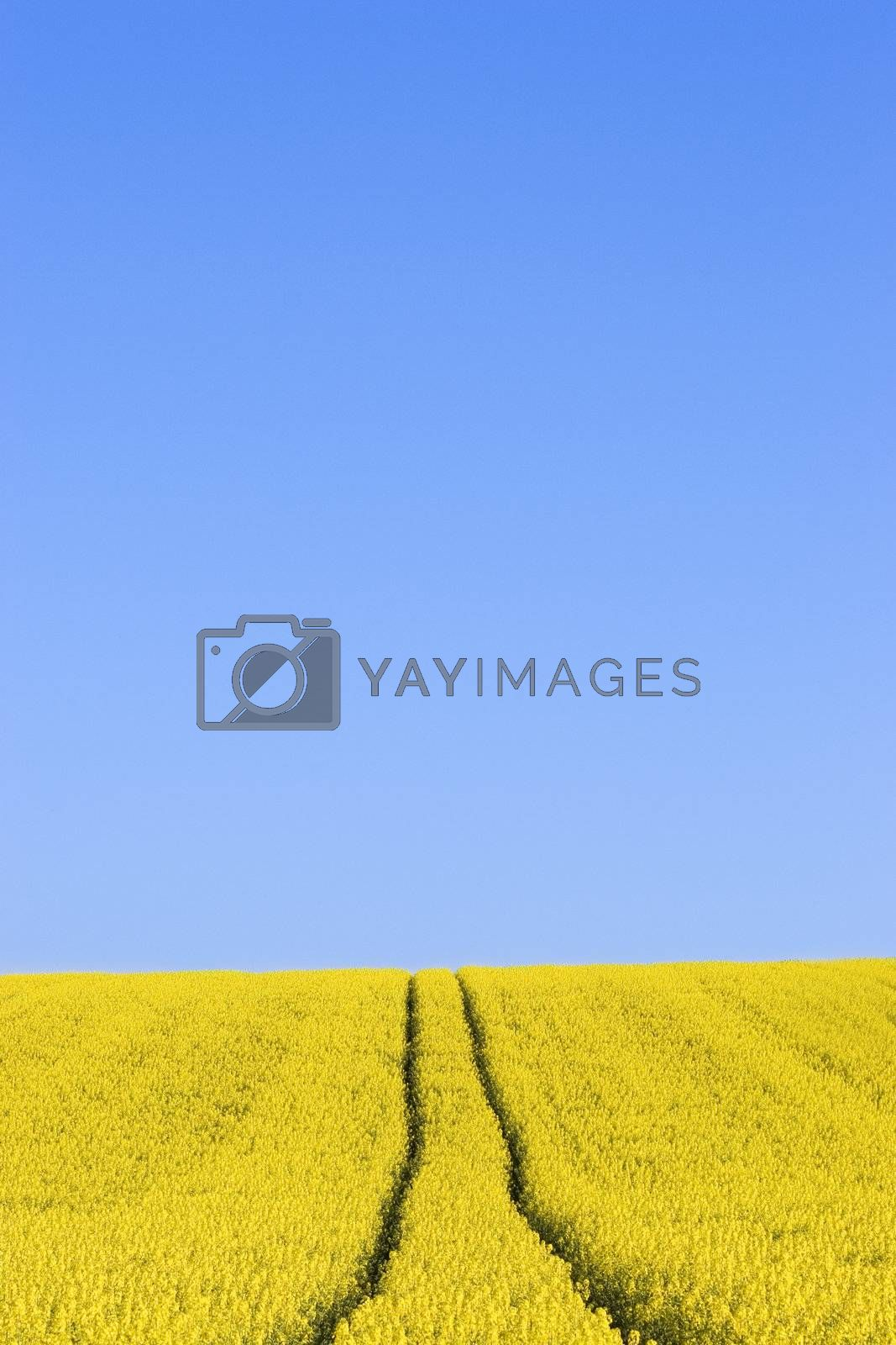 Field of yellow flowers against blue sky by ArtmannWitte
