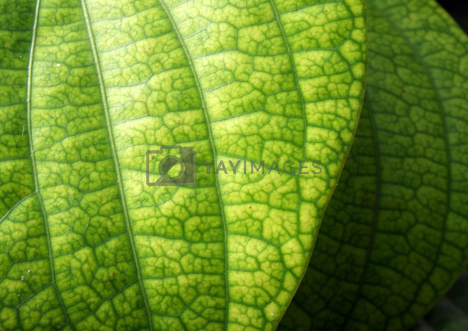 Green leaf  by janaka