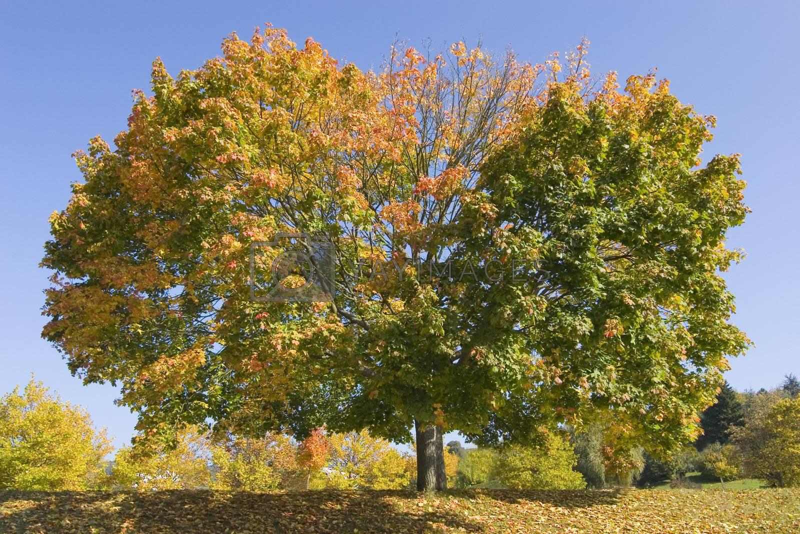 Maple tree in fall by ArtmannWitte