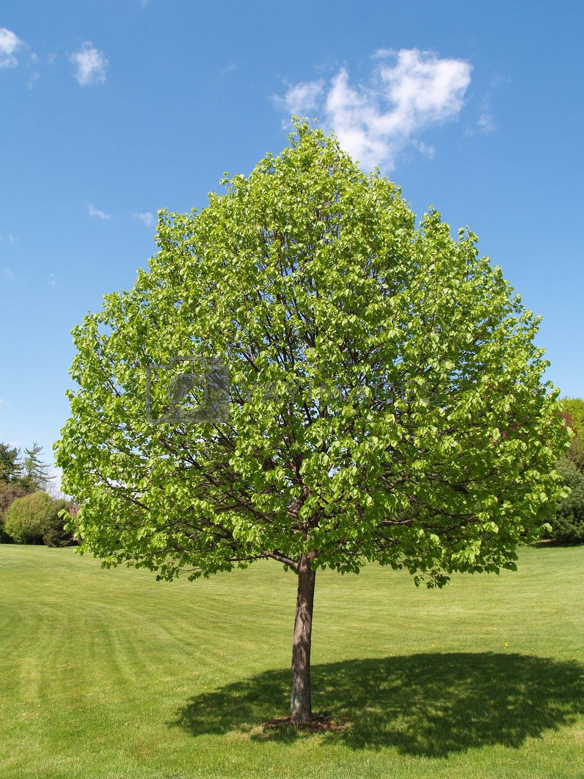 One tree with leaves by a green lawn with a blue sky in the background.