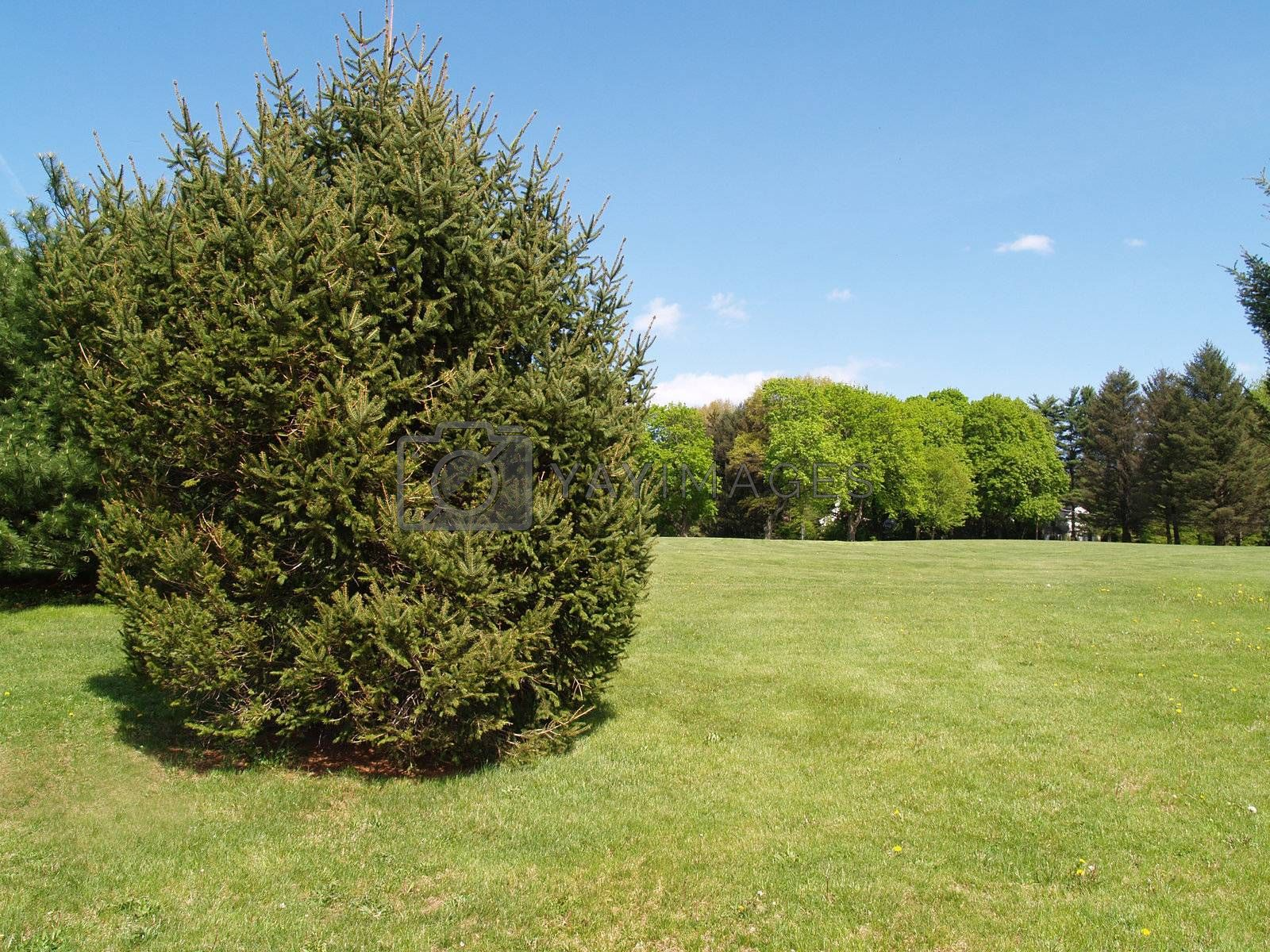 An evergreen tree by a green lawn with a bright blue sky in the background.