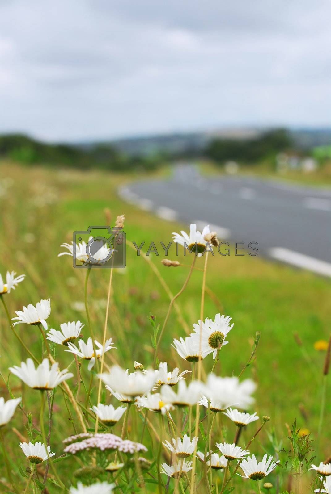 Wild daisies blooming on the side of a rural road in Brittany, France