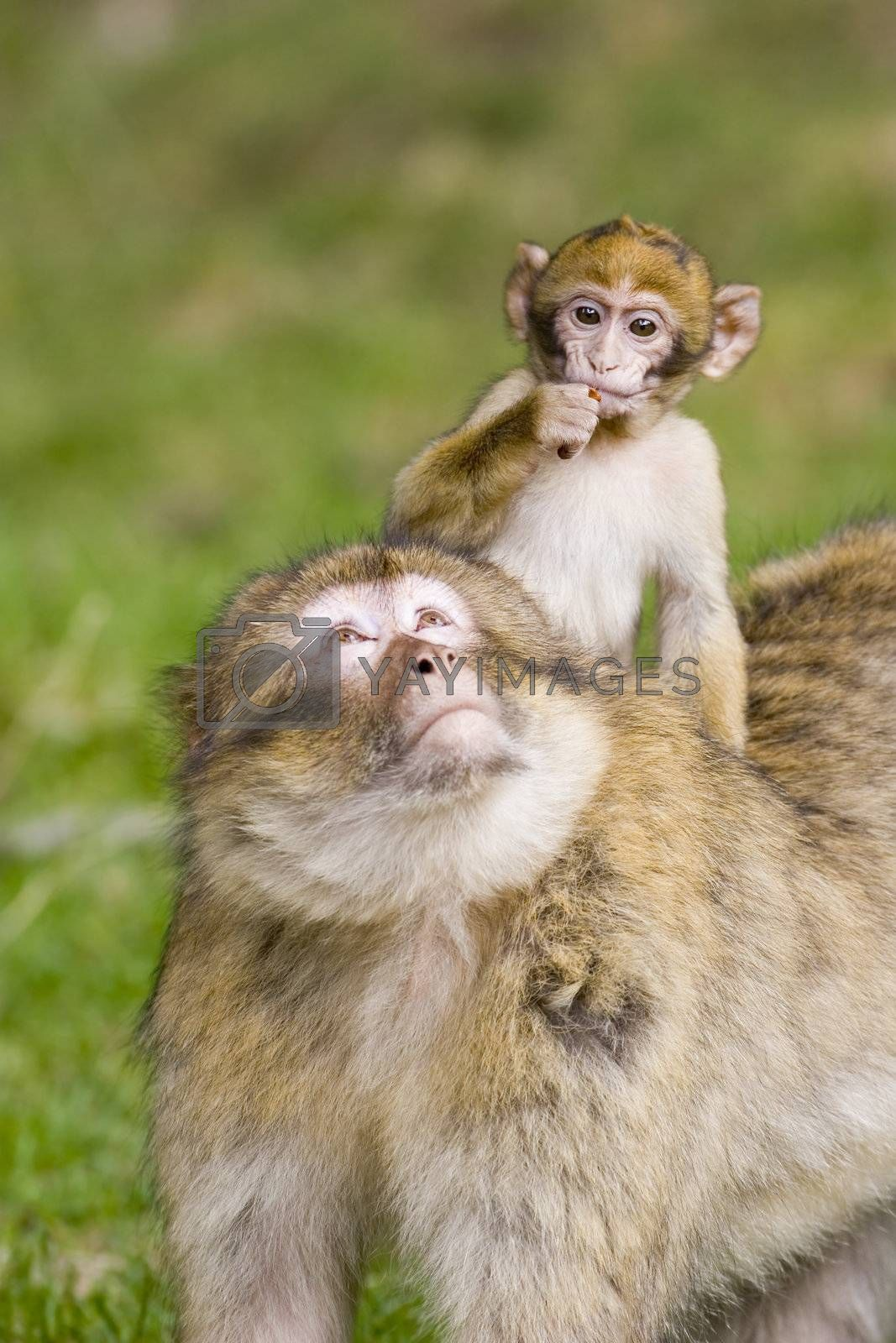 Young barbary ape riding on its mothers back