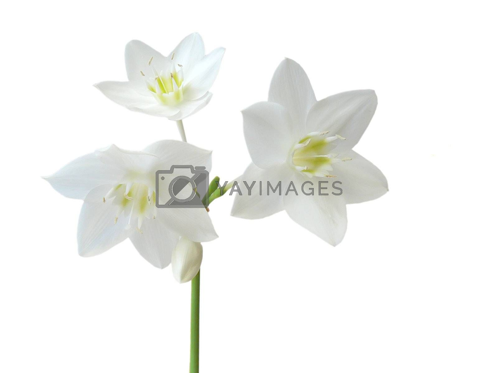 Eucharis grandiflora isolated on white background