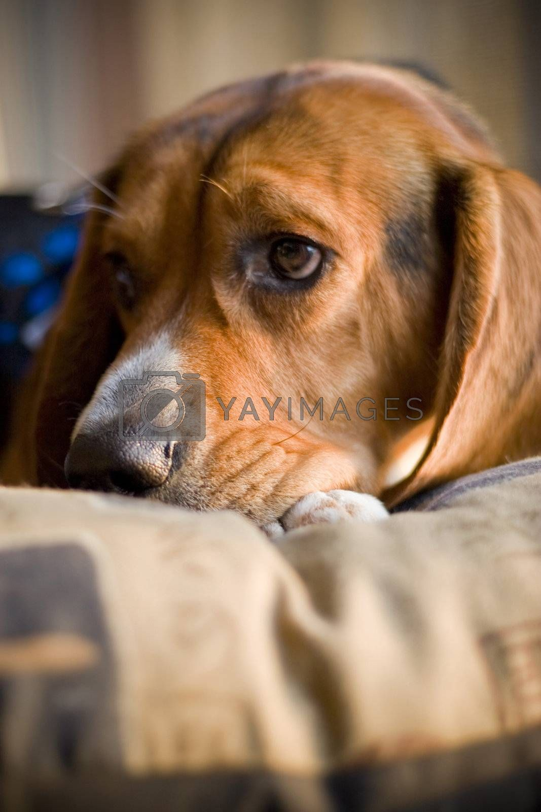 A sleepy beagle pup resting on its bed.