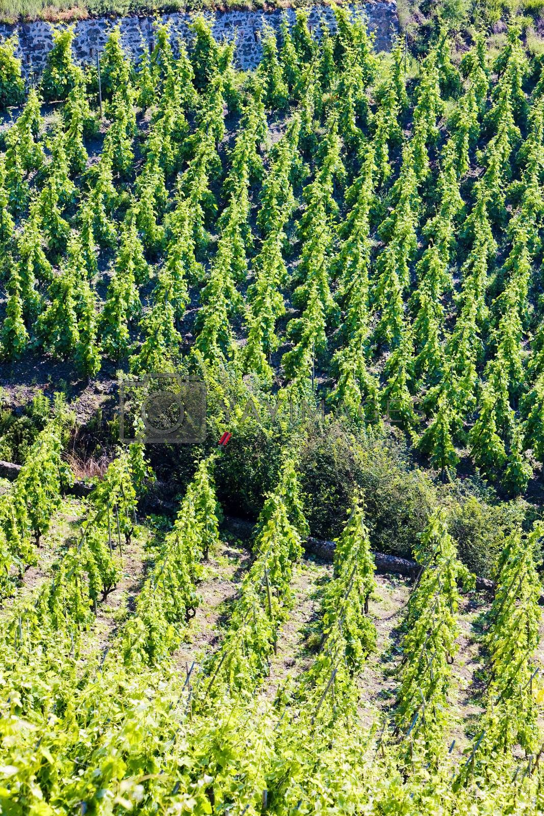 grand cru vineyard, Cote Rotie, Rhone-Alpes, France