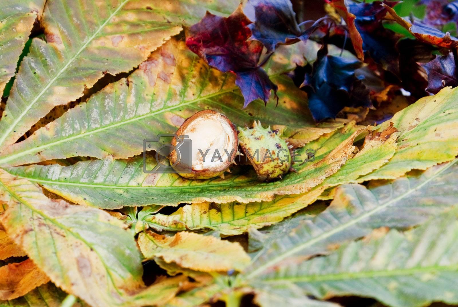 Chesnuts peels by caldix