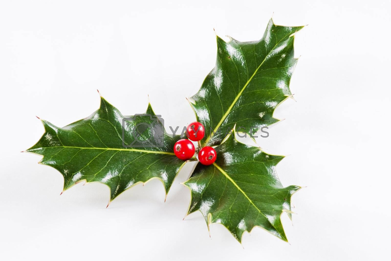 Holly leaf with red berries by caldix