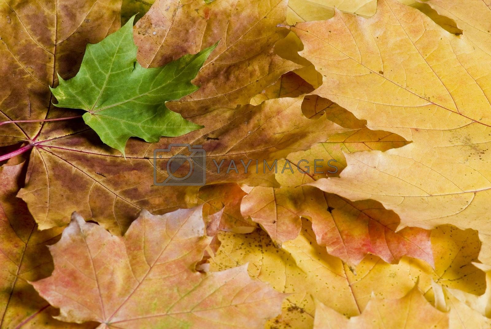Autumn leaves by caldix