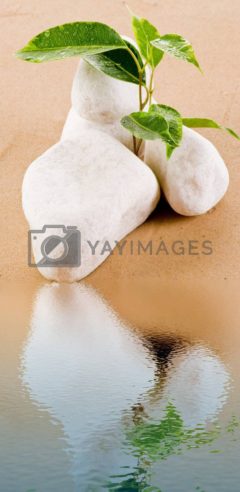 Ficus growing on sand by caldix