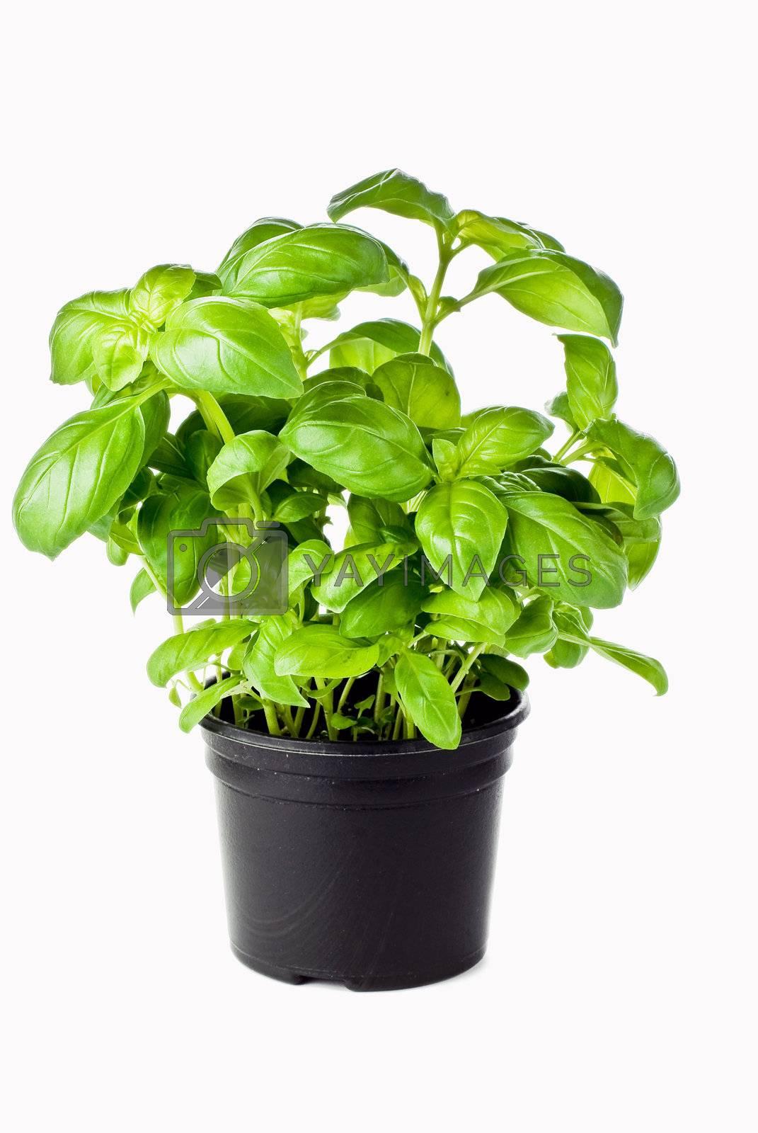 Basil in pot by caldix