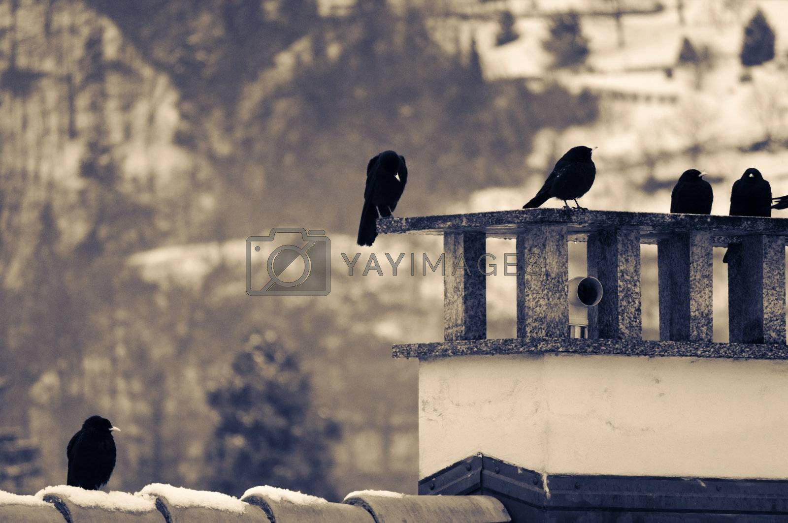 Split toned shot of crows resting on chimney on a winter day
