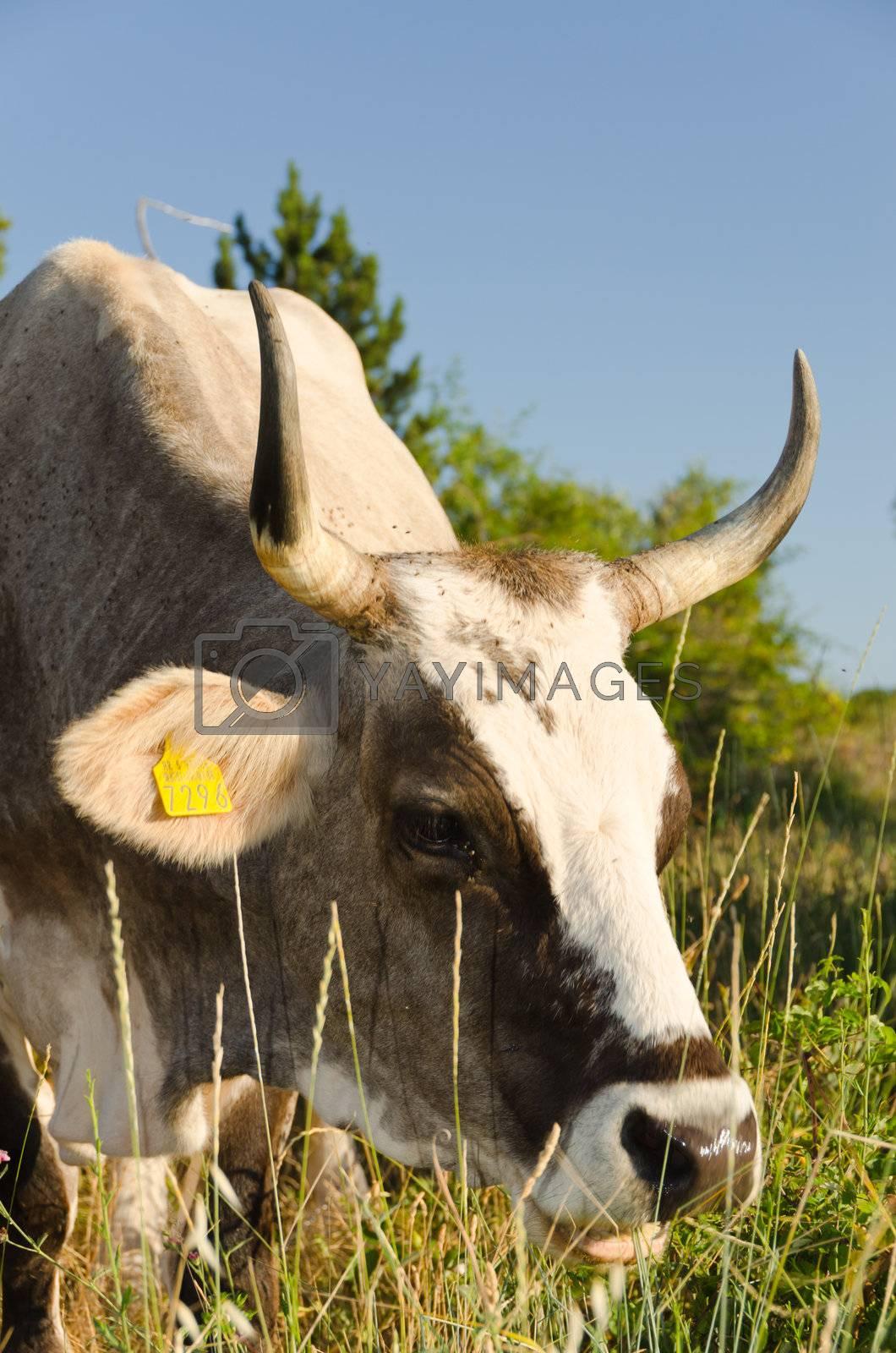Branded cow portrait in a green field